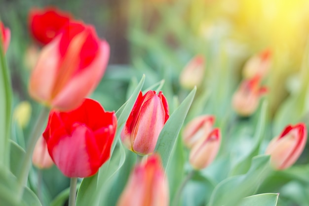 Premières fleurs du printemps, tulipes rouges, lumière du soleil douce