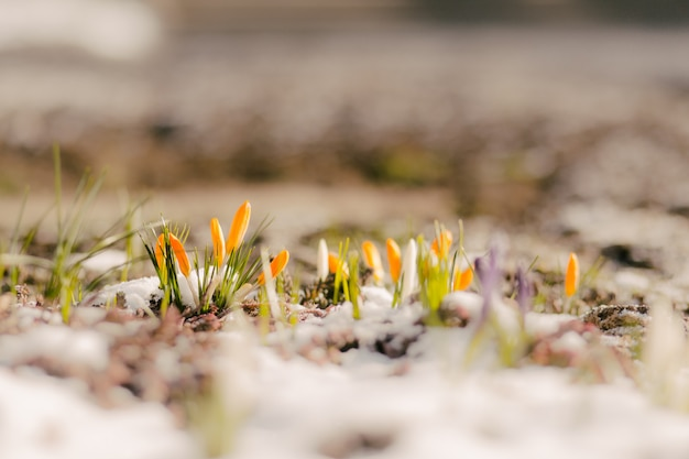 Premières fleurs printanières dans la neige avec espace de copie
