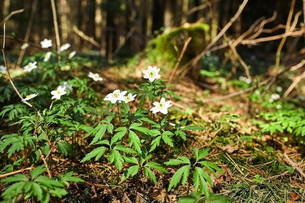 Les premières fleurs printanières de la forêt - perce-neige blancs