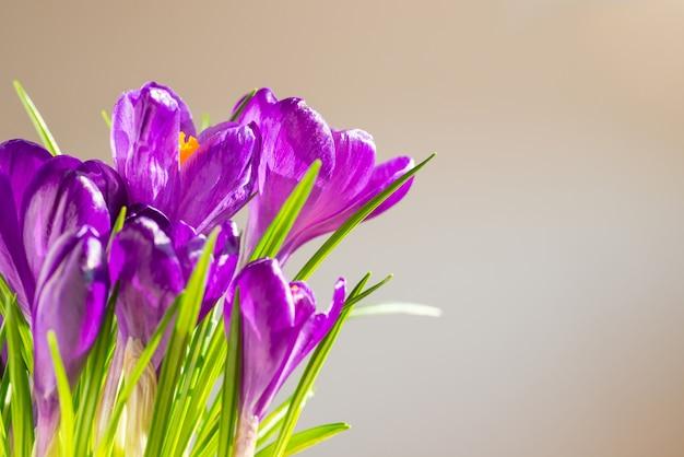 Premières fleurs de printemps - bouquet de crocus violets sur fond flou avec copyspace