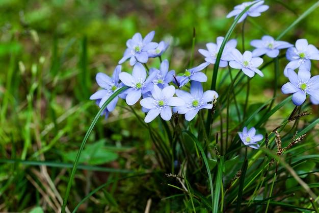 Premières fleurs de printemps fleurs violettes poussant dans la forêt