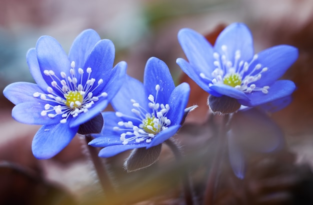 Premières fleurs de printemps hepatica