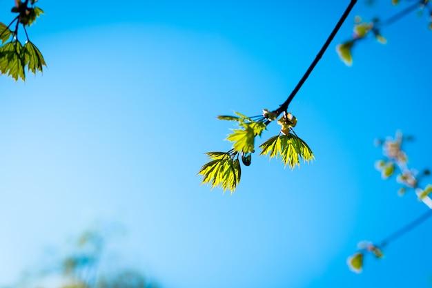 Les premières jeunes feuilles des arbres.branch d'arbre avec les premières feuilles vertes et les bourgeons. espace de copie