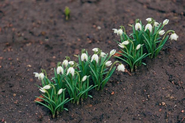 Les premiers beaux perce-neige au printemps
