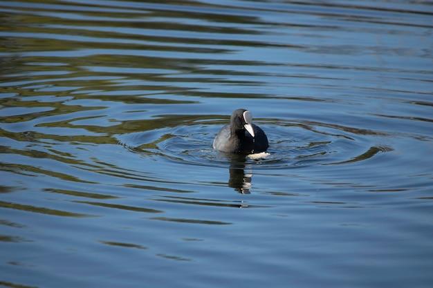 Les premiers jours du printemps les canards nagent dans le lac par une journée ensoleillée