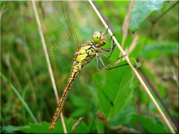 Près summer meadow insecte libellule
