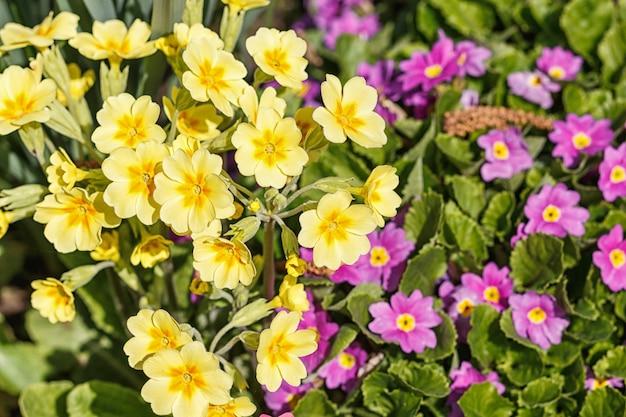 Primevères violettes, roses, jaunes, blanches dans un jardin printanier.