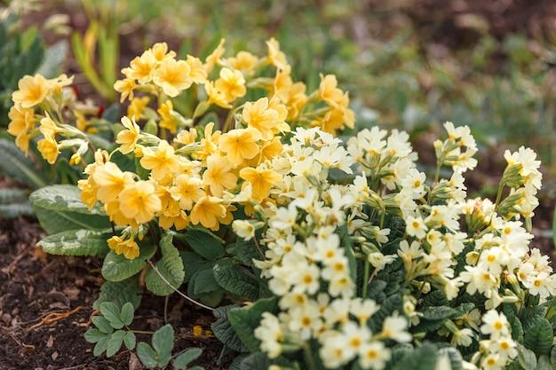Primrose primula à fleurs jaunes en parterre au printemps