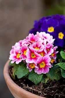 Primula fleurs en pot rose et bleu.