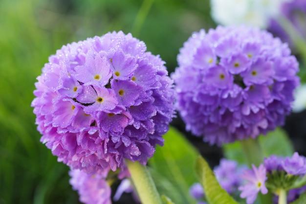 Primula violet sphérique (primula denticulata)