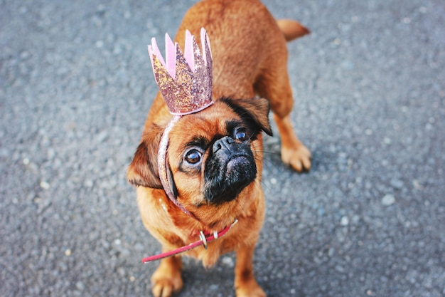 Princesse mignonne petit chien brabanson en couronne brillante rose sur fond gris