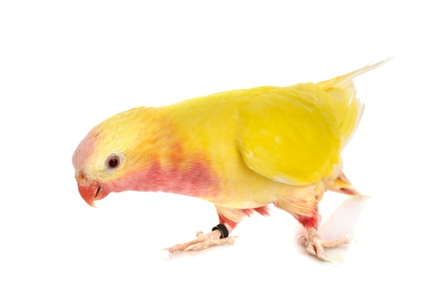 Princesse perroquet