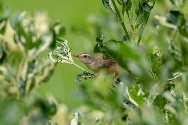 Prinia plaine (prinia inornata) se perche sur un arbre de polyscias dans le vert