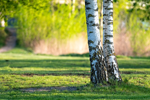 Printemps dans la bouleau, belle journée ensoleillée dans la forêt, paysage printanier avec des bouleaux