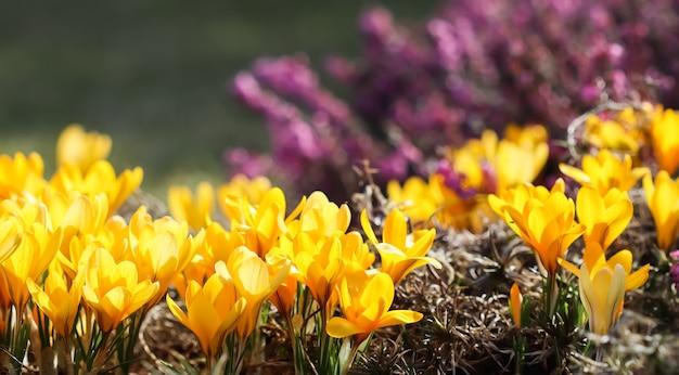Le printemps dans le jardin fleurit des fleurs de crocus jaunes aux beaux jours