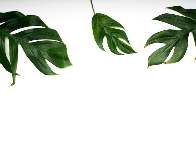 Printemps des feuilles de palmier tropical