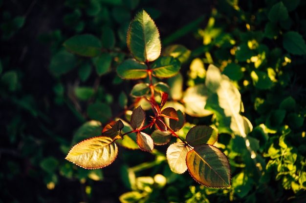 Printemps feuilles d'une rose dans un jardin un soir ensoleillé. vue de dessus.