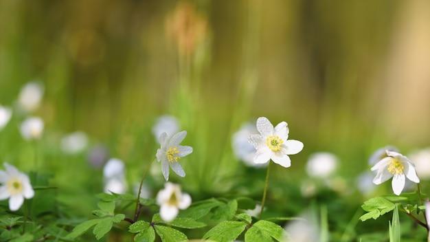 Printemps fleurs blanches dans l'herbe anémone (isopyrum thalictroides)