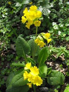 Printemps de fleurs de primevère officinale