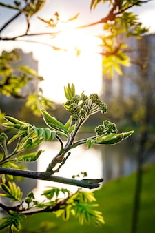 Printemps, fond d'écran nature. feuilles fleuries sur les branches d'un arbre. coup de macro.