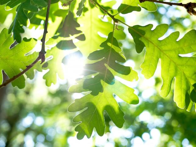 Printemps nature feuilles au feuillage de chêne vert