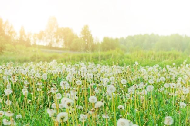 Printemps avec pissenlits de fleurs transparentes claires avec flou artistique. concept d'herbes médicinales. réactions allergiques.
