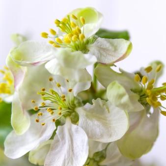 Printemps pommier fleurs blanches