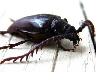 Prionus california scarabée, coléoptère