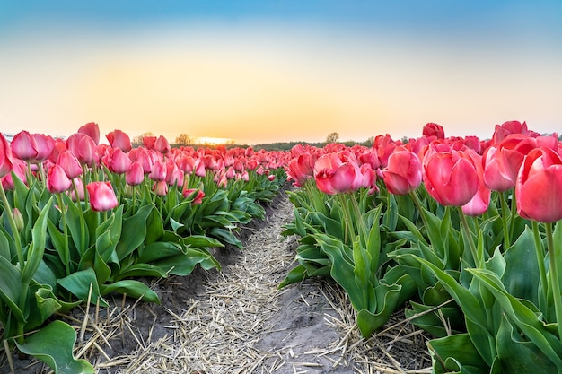 Prise de vue au grand angle d'une belle plantation de fleurs de tulipes roses sous le beau ciel bleu clair