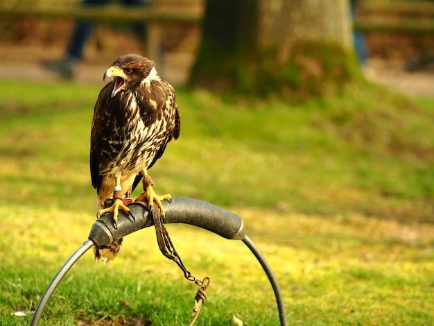Prise de vue au grand angle d'un faucon noir debout sur un morceau de métal