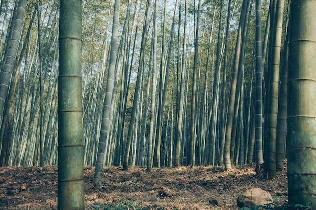 Prise de vue en contre-plongée de la forêt de bambous de sagano