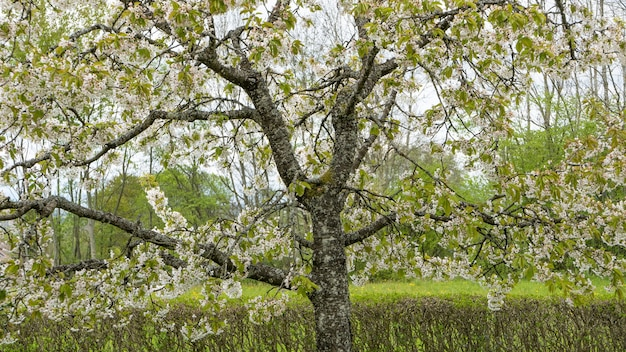 Prise de vue à faible angle d'un arbre qui fleurit au printemps