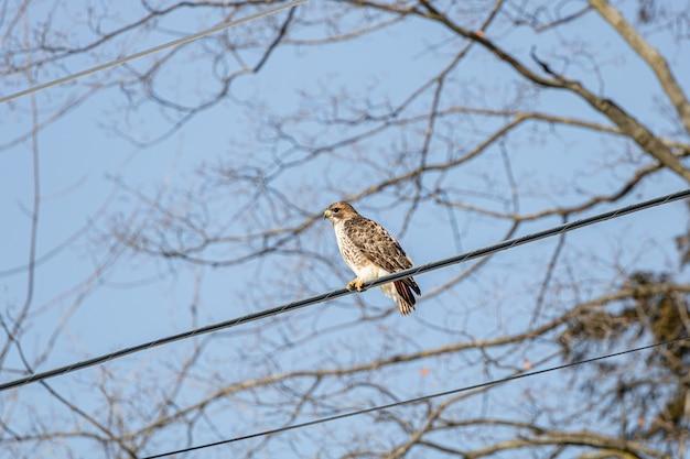 Prise de vue à faible angle d'un faucon reposant sur le fil du câble