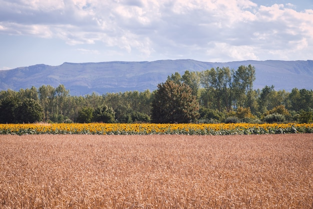 Prise de vue fascinante d'un magnifique champ de blé et de tournesol