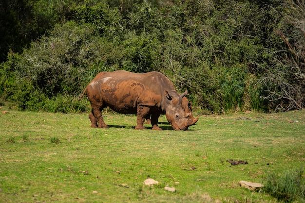 Prise de vue fascinante d'un rhinocéros sur l'herbe verte pendant la journée
