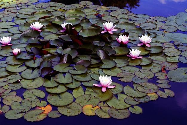 Prise de vue en grand angle de beaux nénuphars roses poussant dans le lac