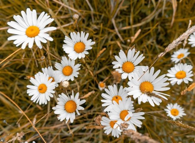 Prise de vue en grand angle de belles fleurs de marguerite sur un champ couvert d'herbe
