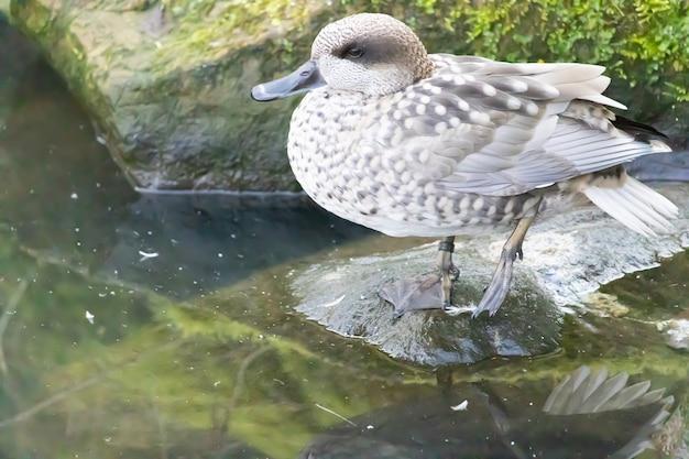 Prise de vue en grand angle d'un canard marbré perché sur un rocher de l'étang