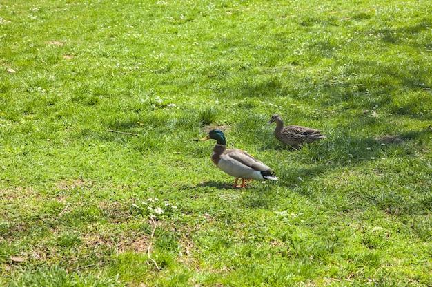 Prise de vue en grand angle de deux canards mignons marchant sur le terrain herbeux