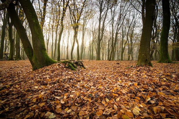 Prise de vue en grand angle de feuilles d'automne sur le sol de la forêt avec des arbres