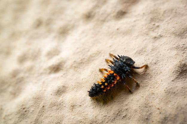 Prise de vue en grand angle d'une larve de coccinelle sur un sol sablonneux