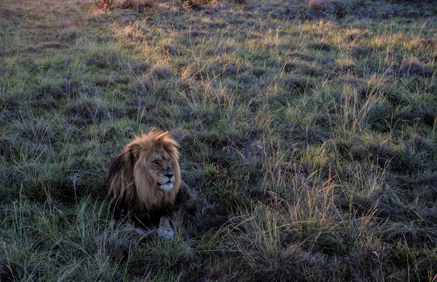 Prise de vue en grand angle d'un lion mâle assis dans un champ