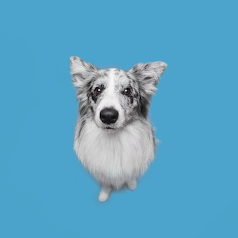 Prise de vue en studio du mignon chien border collie