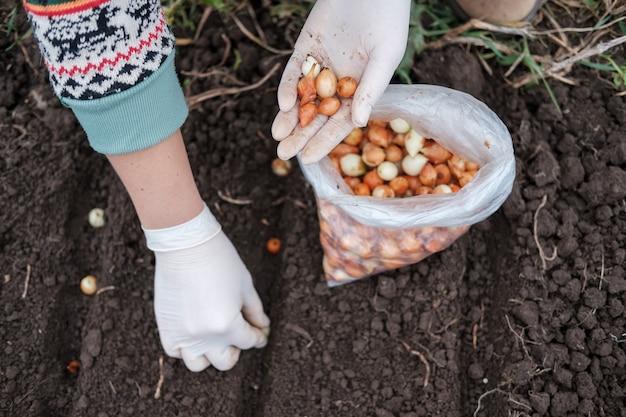Le processus de plantation d'oignons d'hiver dans le jardin en automne. femme plante des oignons