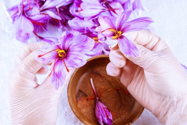 Le processus de séparation des brins de safran du reste de la fleur. préparation des fils de safran pour le séchage avant utilisation en cuisine, en cosmétologie ou en médecine.