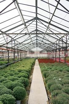 Production et culture de fleurs. de nombreuses fleurs de chrysanthème dans la serre. plantation de chrysanthèmes