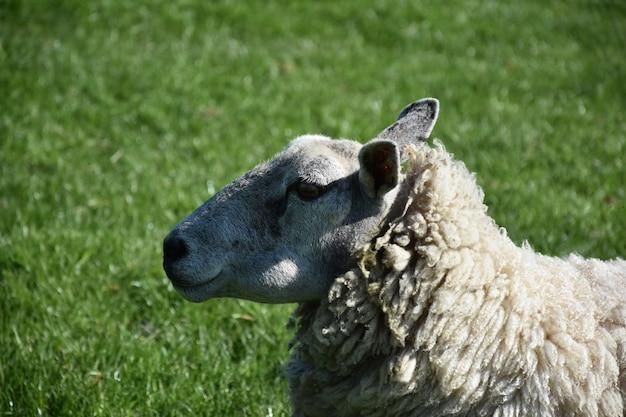 Profil d'une brebis dans un champ d'herbe au printemps