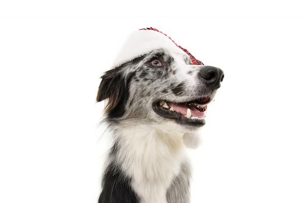 Profil chien de border collie célébrant noël portant un chapeau rouge de père noël.