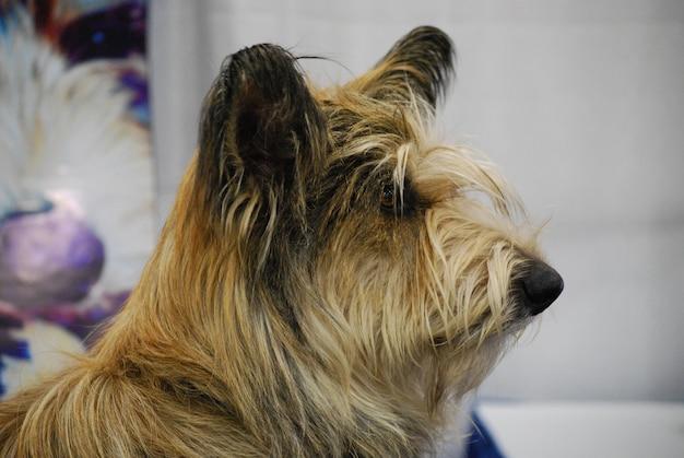 Profil de côté d'un chien berger picard.