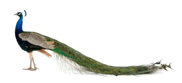 Profil du paon indien mâle